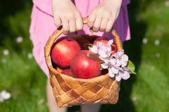 Rode appelen in mand De lente Stock Afbeeldingen