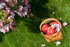 Rode appelen in mand Tuin Stock Afbeelding