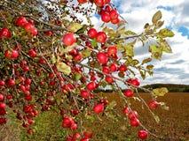 Rode appelen op appelboom Stock Afbeeldingen