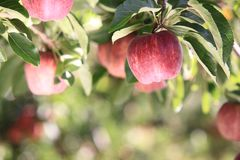 Rode Appelen op Boom Stock Afbeeldingen