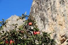 Rode appelen op boom royalty-vrije stock afbeeldingen