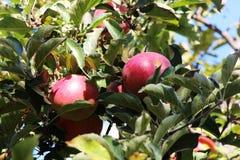 Rode appelen op boom stock fotografie