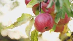 Rode appelen op de boom stock video