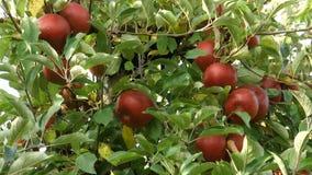 Rode appelen op de boom in de herfst stock videobeelden