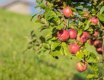 Rode appelen op de tak Royalty-vrije Stock Afbeeldingen