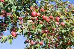 Rode appelen op een appel-boom Royalty-vrije Stock Fotografie