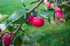 Rode appelen op een tak Stock Foto
