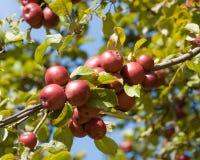 Rode appelen op een tak royalty-vrije stock afbeeldingen