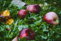 Rode appelen op groen gras Stock Afbeeldingen