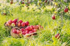 Rode appelen op groen gras in boomgaard royalty-vrije stock afbeelding