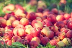 Rode appelen op het gras Stock Foto