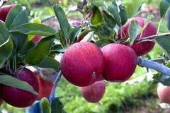 Rode appelen op tak Royalty-vrije Stock Afbeelding