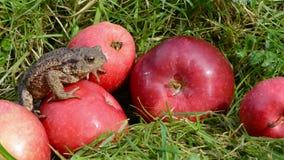 Rode appelen in tuin en amfibie gemeenschappelijke pad (Bufo-bufo) stock footage