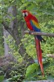 Rode Ara, Papegaai het stellen op een tak stock afbeelding
