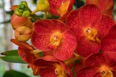 Rode Ascocenda-orchidee in orchideetuin Stock Afbeelding