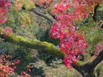 Rode Autumn Japanese-tuin Stock Afbeelding