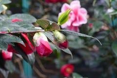 Rode azalea Royalty-vrije Stock Foto