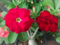 Rode Azalea Flowers Petal Stacking stock fotografie