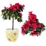 Rode azalea in pot die op wit wordt geïsoleerds Stock Afbeelding