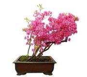 Rode azaleabonsai stock afbeeldingen