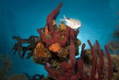 Rode Bahama Coralhead Stock Foto's