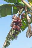 Rode banaan Royalty-vrije Stock Afbeeldingen
