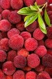Rode bayberry stock afbeeldingen