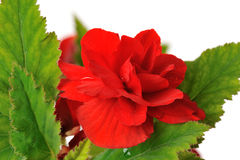 Rode begonia Royalty-vrije Stock Fotografie