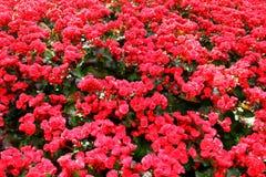 Rode Begonia Royalty-vrije Stock Afbeelding