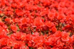 Rode begonia Royalty-vrije Stock Afbeeldingen
