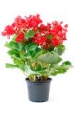 Rode Begonia Stock Afbeelding