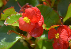 Rode begonia Royalty-vrije Stock Foto's