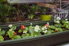 Rode begonia en wit in dozen enkel wordt geplant die royalty-vrije stock fotografie