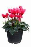 Rode begoniabloemen in zwarte potten royalty-vrije stock foto's
