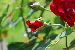 Rode Bemerkte Rozen die in Tuin bloeien stock fotografie