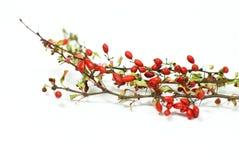 Rode berberis Royalty-vrije Stock Fotografie