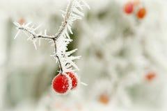 Rode bes in het bos in de winter Stock Afbeeldingen