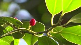Rode bes met groene bladeren stock footage