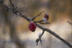 Rode bes op een tak in de winter stock afbeeldingen