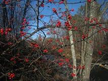 Rode Bessen Stock Afbeeldingen