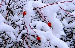 Rode bessen in de gevangenschap van de de wintercharme Stock Foto