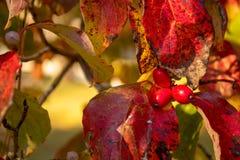 Rode bessen in de herfst stock afbeelding