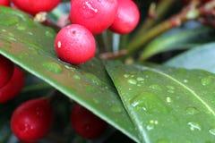 Rode bessen in de regen Stock Foto's