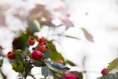 Rode bessen in een boom royalty-vrije stock afbeelding