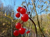 Rode bessen en de herfstbladeren Royalty-vrije Stock Afbeeldingen