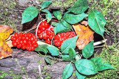 Rode Bessen en Groene Bladeren Stock Foto's