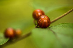 Rode Bessen Groene Bladeren in Autumn Illinois Stock Afbeeldingen