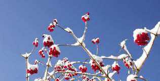 Rode Bessen in het Smelten van de Winter Stock Afbeelding