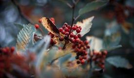 Rode bessen op een koude die achtergrond door bladeren in de Winter wordt omringd stock afbeelding