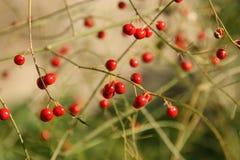 Rode bessen van een asperge op een groene achtergrond stock afbeeldingen